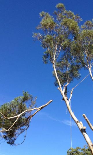 A Brisbane gum tree being lopped